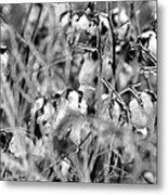Frozen Cotton Metal Print
