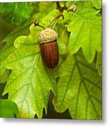 Fruit Of An Oak Tree Ripe In Autumn Metal Print