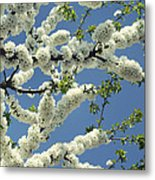 Fruit Tree Blooms Metal Print
