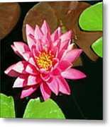 Fuchsia Pink Water Lilly Flower Floating In Pond Metal Print