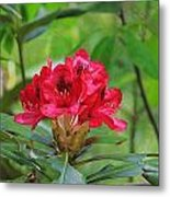 Fuchsia Rhododendron Moore State Park Metal Print