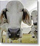 Funny Cows Metal Print