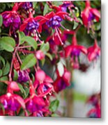 Fuchsia Spilling Over  Metal Print