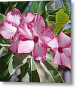 Fushia Oleander Near Phoenx Arizona 2 Metal Print