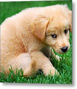 Fuzzy Golden Puppy Metal Print by Christina Rollo