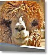 Fuzzy Wuzzy Alpaca Metal Print by Helen Carson