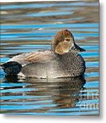 Gadwall Duck Drake Swimming Metal Print