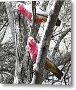 Galahs In A Tree Metal Print