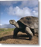 Galapagos Giant Tortoise On Alcedo Metal Print