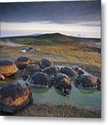Galapagos Giant Tortoise Wallowing Metal Print