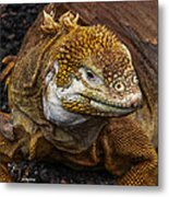 Galapagos Land Iguana  Metal Print by Allen Sheffield