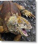 Galapagos Land Iguana Metal Print