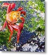Galapagos Sally Lightfoot Crab Metal Print