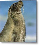 Galapagos Sea Lion Coral Beach Metal Print