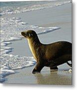 Galapagos Sea Lion In Gardner Bay Metal Print