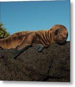 Galapagos Sea Lion Pup (zalophus Metal Print
