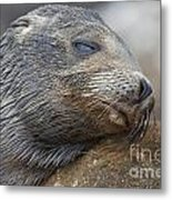 Galapagos Sea Lion Sleeping Metal Print