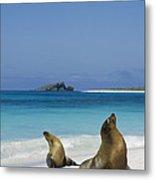 Galapagos Sea Lions On Beach Galapagos Metal Print