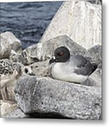 Galapagos Seagull And Her Chick Metal Print