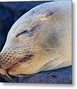 Galapagos Sealion Metal Print