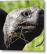 Galapagos Tortoise Galapagos Islands National Park Santa Cruz Island Metal Print