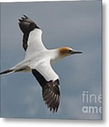 Gannet In Flight Metal Print