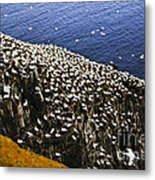 Gannets At Cape St. Mary's Ecological Bird Sanctuary Metal Print