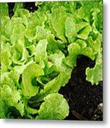 Garden Fresh Baby Lettuce And Lady Bug Metal Print