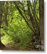 Garibaldi Old Growth Cedars Metal Print