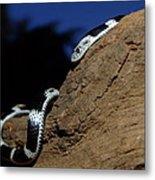 Garter Snake Genus Elapsoidea Metal Print