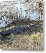 Gator Football Metal Print by Al Powell Photography USA