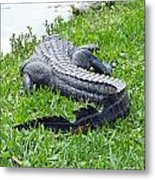 Gator In The Grass Metal Print