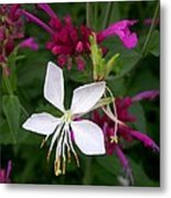 Gaura Lindheimeri Whirling Butterflies With Agastache Ava Metal Print