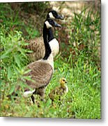 Geese And Gosling Metal Print