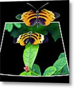 Gentle Butterfly Courtship 01 Out Of Bounds Metal Print