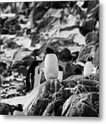 Gentoo Penguin On Rocky Landscape On Port Lockroy Antarctica Metal Print