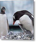 Gentoo Penguin With Chick Begging Metal Print