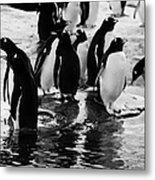 Gentoo Penguins On Rocky Shoreline On Port Lockroy Antarctica Metal Print
