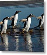 Gentoo Penguins Walking Metal Print by Hiroya Minakuchi