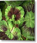 Geranium Leaves Metal Print