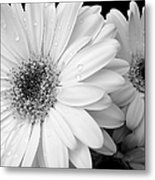 Gerber Daisies In Black And White Metal Print
