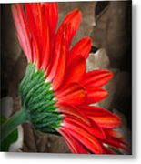 Gerber Daisy Bashful Red Metal Print