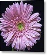 Gerber Daisy Flower Metal Print