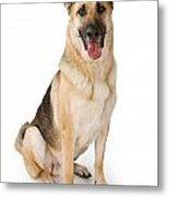 German Shepherd Dog Isolated On White Metal Print by Susan Schmitz