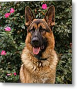German Shepherd Dog Metal Print