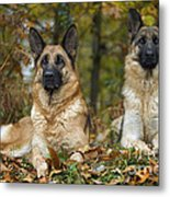 German Shepherd Dogs Metal Print