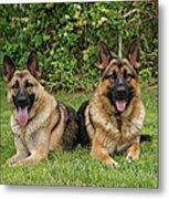 German Shepherds - Mother And Son Metal Print
