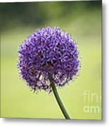 Giant Allium Flower Metal Print
