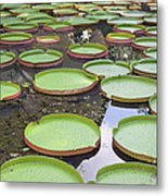 Giant Amazonian Water Lily Pads Metal Print