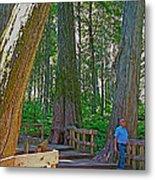 Giant Cedar Grove On Giant Cedars Trail In Mount Revelstoke Np-bc Metal Print